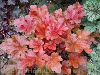 Heuchera Maroon Blush