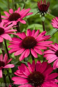 Echinacea purpurea `Summer Cloud