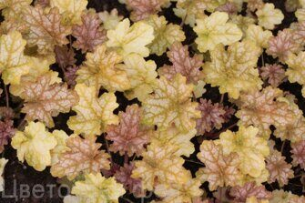 Heuchera Ginger ale
