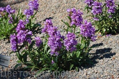 Penstemon virgatus 'Blue Buckle