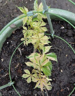 Девичий Виноград  Parthenocissus quinquefolia Star Showers