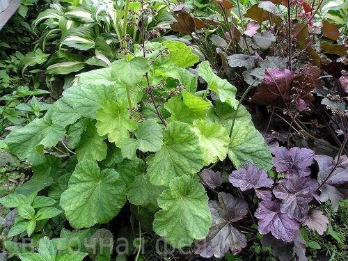 Heuchera Green