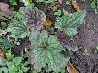 Heuchera Mercury