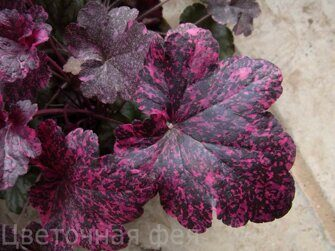 Heuchera Midnight Rose Select