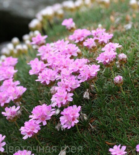 Armeria juniperifolia 'New Zealand Form