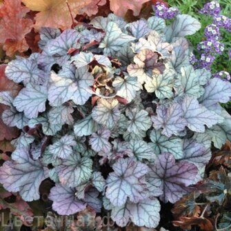 Heuchera Rose Quartz
