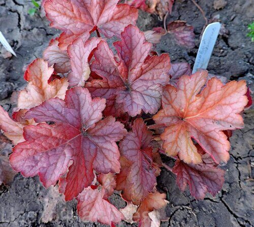 Heuchera Carnival Watermelon