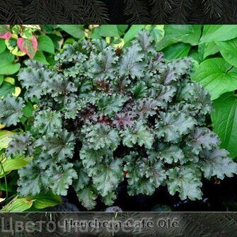 Heuchera Cafe Ole