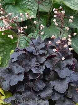 Heuchera Little Cutie Coco