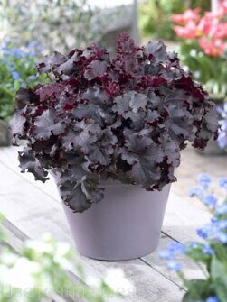 Heuchera Dark Mystery