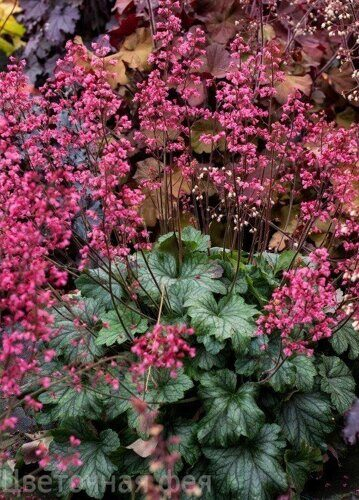 Heuchera Rex Peppermint