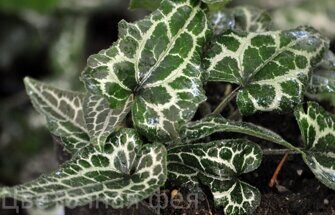 Asarum takasago 'Saisin