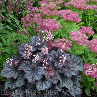 Heuchera Little Cuties Frost
