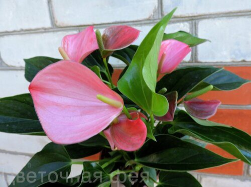 Anthurium Pink Fever
