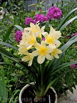 Clivia Yellow star