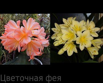 Clivia White Lips № 1 х Clivia Yellow star