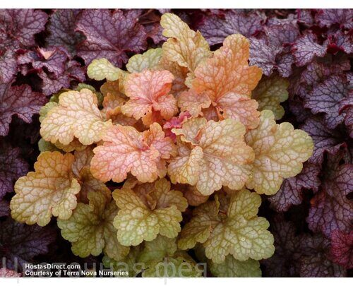 Heuchera Midas Touch