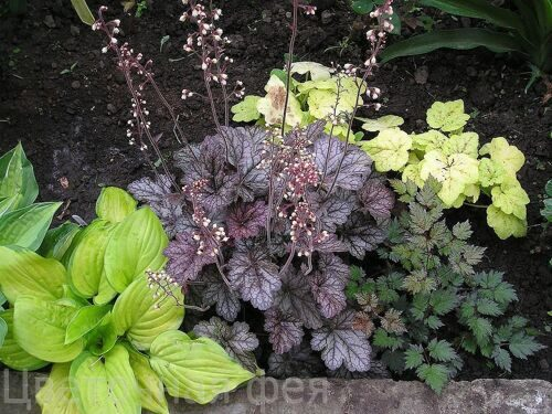 Heuchera Color Dream