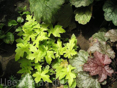 Heucherella Gold Strike