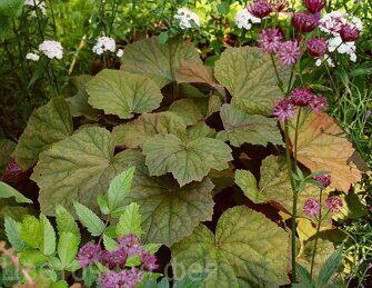 Heuchera Brownies