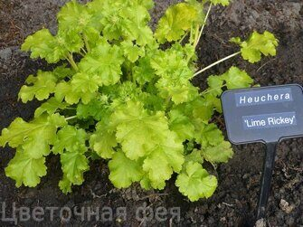 Heuchera Lime Ricky