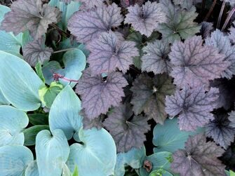 Heuchera Frosted Fiolet