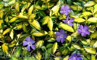 "Барвинок малый Блю энд Голд_Vinca minor ""Blue and Gold"""
