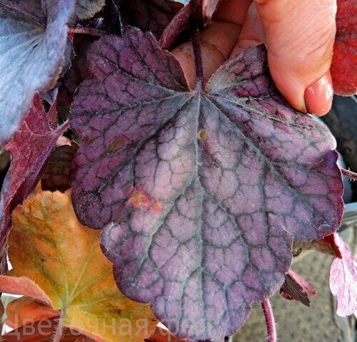 Heuchera Rex Purple