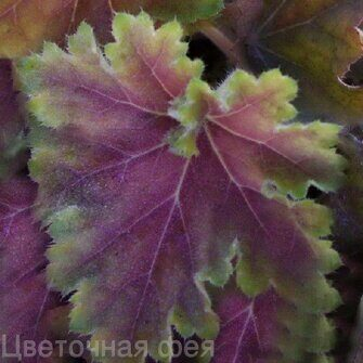 Heuchera Knock Out