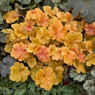 Heuchera Christa